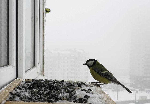 Great tit feeds at bird feeder at a window sill of an apartment in Minsk, Belarus March 9, 2018. (Photo by Vasily Fedosenko/Reuters)