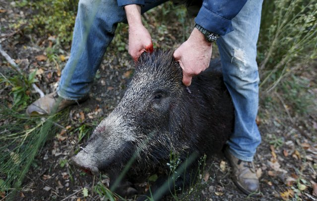 Tommaso Gaggi holds a dead wild boar during an hunt in Castell'Azzara, Tuscany, central Italy, November 1, 2015. (Photo by Max Rossi/Reuters)
