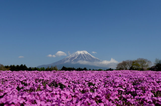 Shibazakura (Moss phlox) bloom in front of the Mt.Fuji during the Fuji Shibazakura Festival at Ryujin-ike Pond on April 30, 2016 in Fujikawaguchiko, Japan. About 800,000 moss phlox flowers are in full bloom at the festival held near the Mt. Fuji. (Photo by Takashi Aoyama/Getty Images)