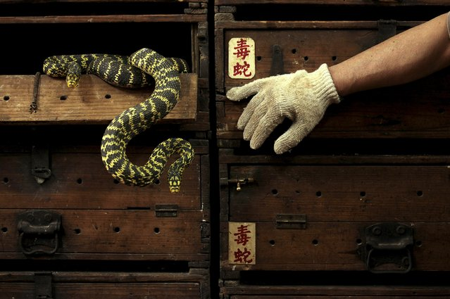 "Snakes hang from a wooden cabinet marked with the Chinese characters ""poisonous snake"", at a snake soup shop ahead of the Spring Festival in Hong Kong in this January 29, 2013 file photo. Hong Kong is expected to release CPI data this week. (Photo by Bobby Yip/Reuters)"