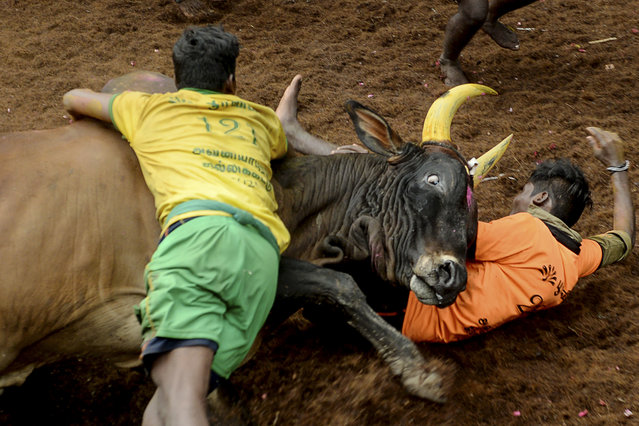 """Participants try to control a bull during an annual bull taming event """"Jallikattu"""" in the village of Avaniyapuram, on the outskirts of Madurai on January 14, 2021. (Photo by Arun Sankar/AFP Photo)"""