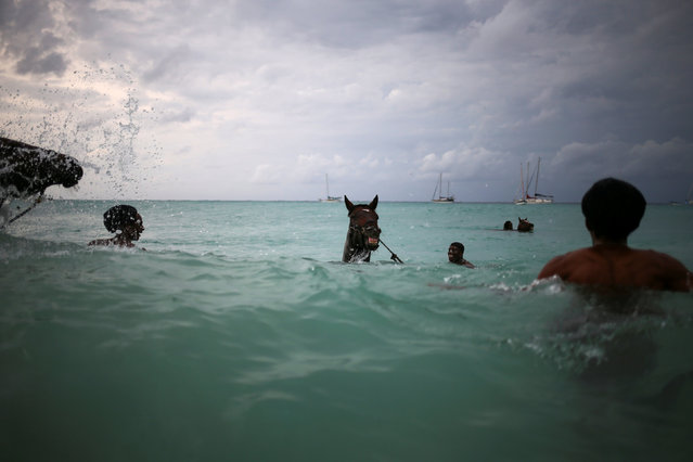 Handlers swim with horses from the Garrison Savannah in the Caribbean Sea near Bridgetown, Barbados November 29, 2016. (Photo by Adrees Latif/Reuters)
