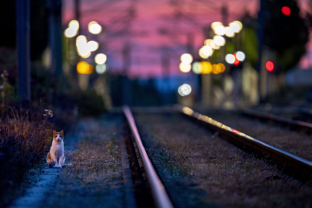 A cat goes for an early morning walk near subway rails in Frankfurt, Germany, Tuesday, Aug. 4, 2020. (Photo by Michael Probst/AP Photo)