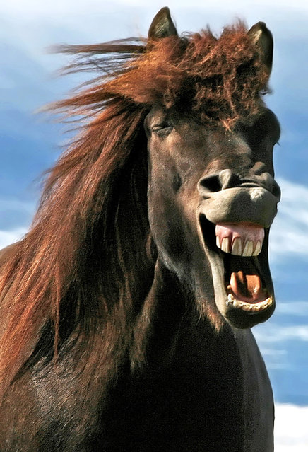 A horse laughs. (Photo by Bragi J. Ingibergsson/Caters News)