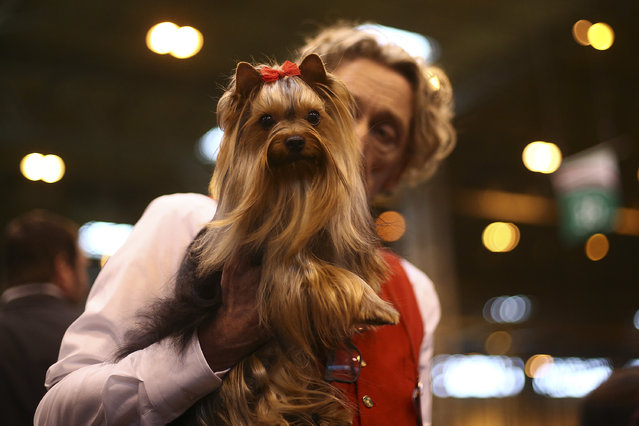 An owner poses for a photograph with his Yorkshire Terrier on the fourth and final day of Crufts dog show at the National Exhibition Centre on March 8, 2015 in Birmingham, England.  First held in 1891, Crufts is said to be the largest show of its kind in the world. The annual four-day event, features thousands of dogs, with competitors travelling from countries across the globe to take part and vie for the coveted title of 'Best in Show'. (Carl Court/Getty Images)