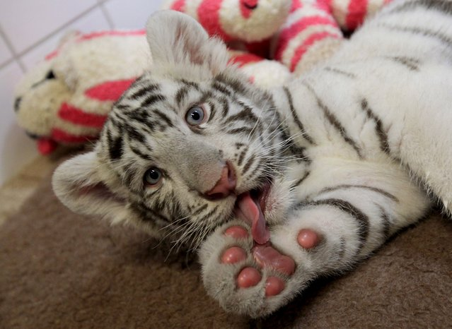 A Two-month-old white bengal tiger cub cleans itself at Gyor Zoo in Gyor, west of Budapest, March 20, 2015. (Photo by Bernadett Szabo/Reuters)