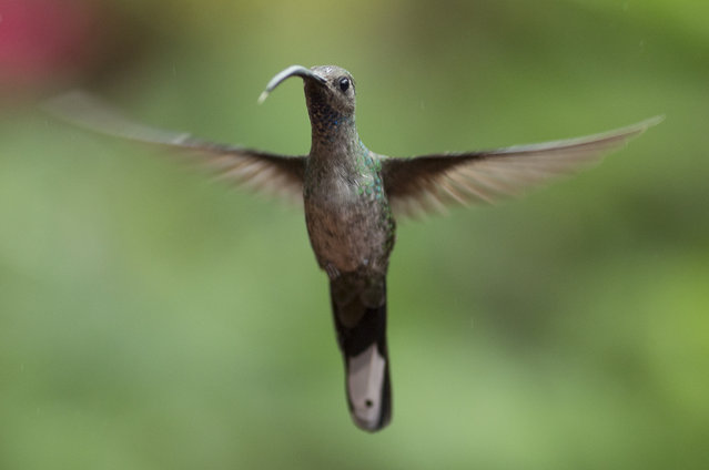 A Green Hermit is pictured at a Hummingbird feeding station on January 15, 2016 in Alajuela, Costa Rica. (Photo by Dan Kitwood/Getty Images)