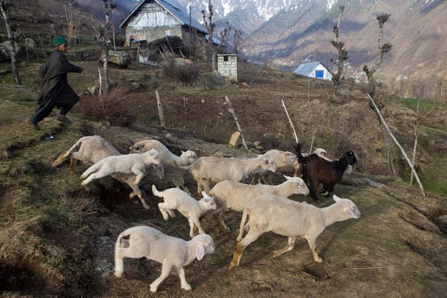 Ahmed, a young Kashmiri shepherd boy, tends to his flock of sheep in Astanpora, some 25 Kilometers from Srinagar, Indian controlled Kashmir, Wednesday, March 25, 2015. Sheep rearing is popular in the state of Jammu and Kashmir. With its sufficient pasture lands, the state also has a Sheep husbandry department with the main objective of promoting sheep and goat development in the state. (Photo by Dar Yasin/AP Photo)