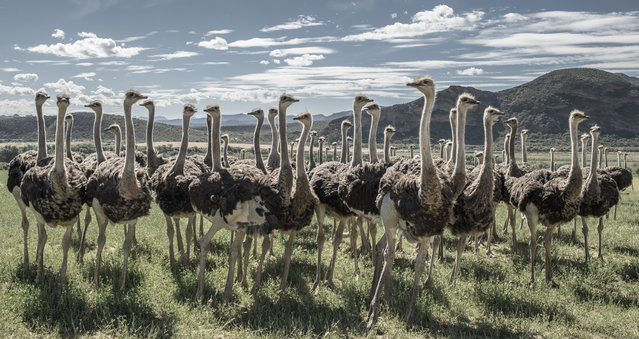 """The Ostrich Council"". While driving in the Little Karoo desert in South Africa, we came across a group of ostriches. Not thinking about photography yet, I noticed that each one of them started approaching me if I could stand perfectly still in the field. I thus switched to a 35mm lens, kneeled down and stopped moving for around 20min. Once the surrounding group was close and large enough, I could finally take the shot. Photo location: Little Karoo desert, South Africa. (Photo and caption by Matthieu Moors/National Geographic Photo Contest)"