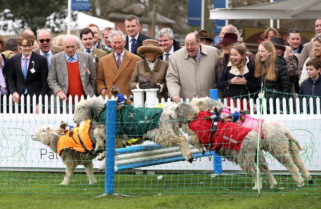 Camilla, Duchess of Cornwall, Prince Charles, Prince of Wales and Sir Nicholas Soames watch sheep jump over a fence during the 'Lamb National' at The Prince's Countryside Fund Raceday at Ascot Racecourse on March 29, 2015 in Ascot, England. (Photo by Chris Jackson - WPA Pool/Getty Images)