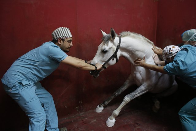 A racehorse begins to lose consciousness following an anaesthetic at Veliefendi equine hospital in Istanbul April 6, 2015. (Photo by Murad Sezer/Reuters)