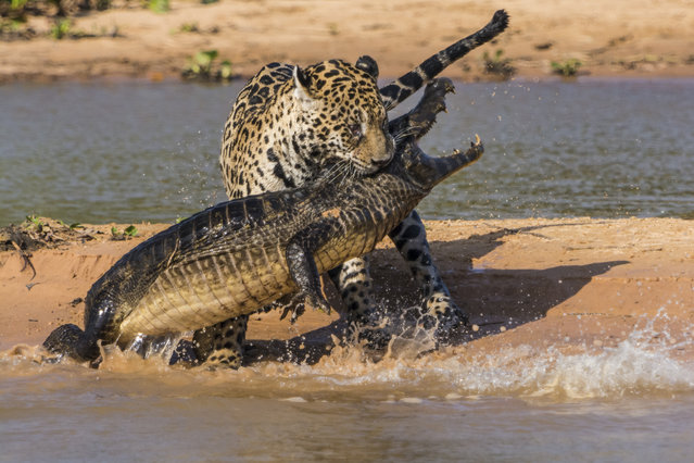 A male jaguar bites a Yacare caiman on a river island on August 25, 2013 in Pantanal, Brazil. (Photo by Justin Black/Barcroft Media)