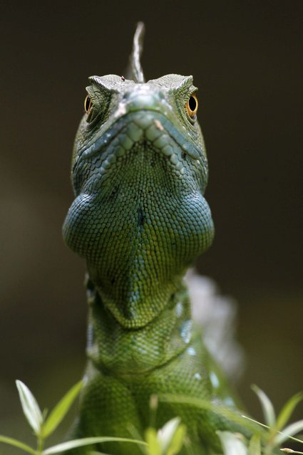 A picture made available on 22 April 2015 shows an Iguana in a zone of Guapiles, in the province of Limon, Costa Rica, 18 April 2015. (Photo by Jeffrey Arguedas/EPA)