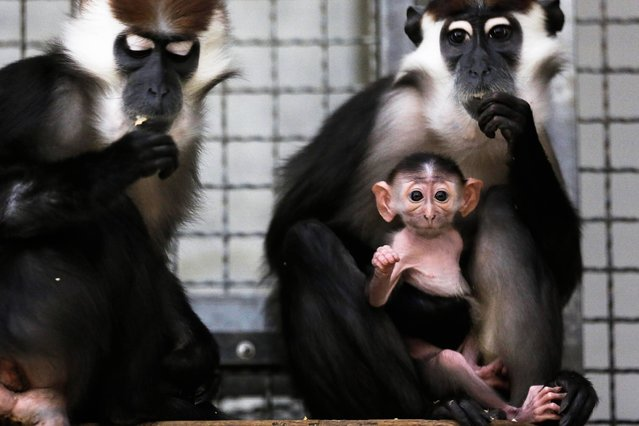A Cherry-crowned Mangabey cub sits in the arms of its mother and next to the father inside the monkey house at the Tierpark zoo in Berlin, Tuesday, February 25, 2014. The 15 days old Cherry-crowned Mangabey was presented to the public for the first time. (Photo by Markus Schreiber/AP Photo)