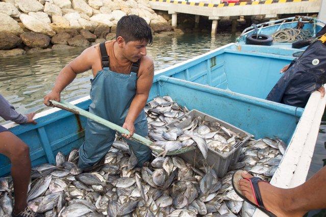 A fisherman uses a shovel to pick up fish from his boat at the Artisanal Fishing Port in Jaramijo, Ecuador May 19, 2015. (Photo by Guillermo Granja/Reuters)