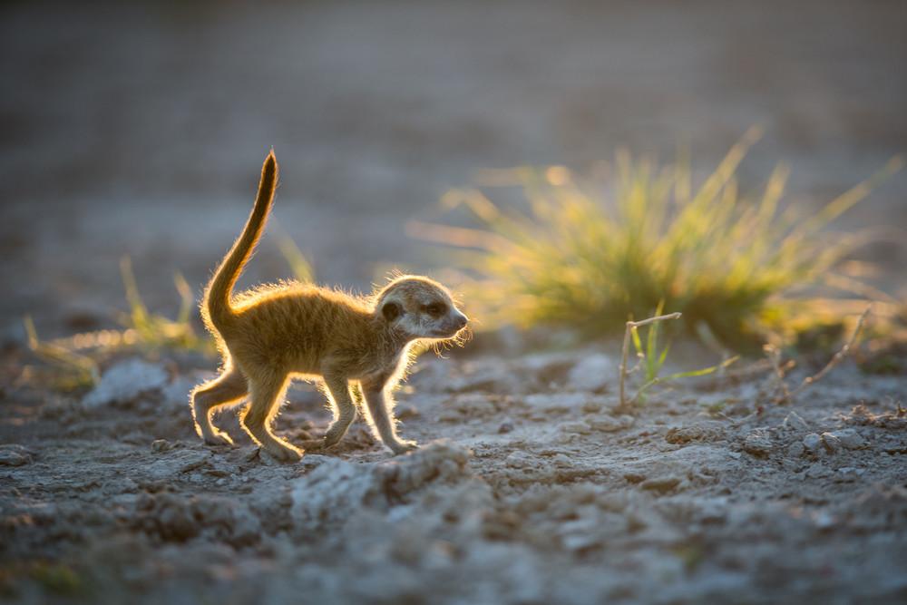 Meerkats Use Photographer as Lookout