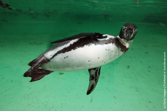A penguin swims in its enclosure