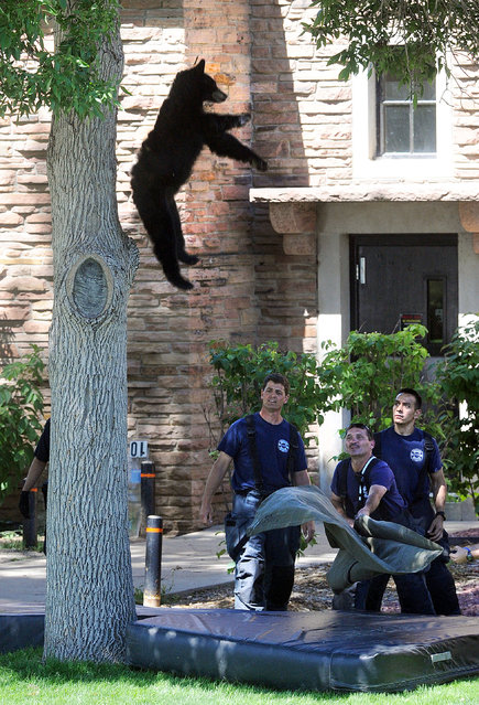 A tranquilized bear falls from a tree after being darted by Colorado Department of Wildlife officers on Friday morning, July 10, 2015 on the University of Colorado campus, in Boulder, Colo. (Photo by Cliff Grassmick/The Daily Camera via AP Photo)