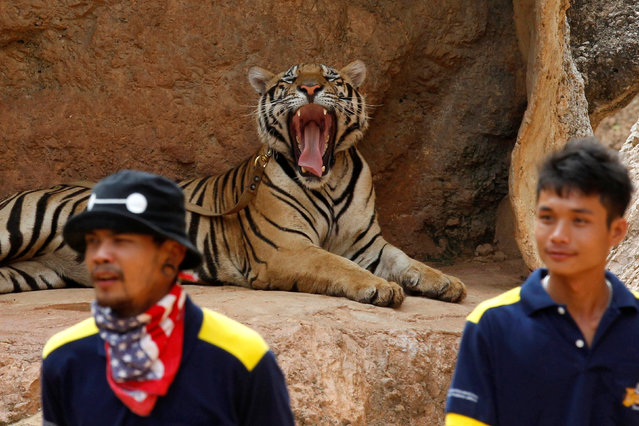 A tiger yawns before the officials start moving them from Thailand's controversial Tiger Temple, a popular tourist destination which has come under fire in recent years over the welfare of its big cats in Kanchanaburi province, west of Bangkok, Thailand, May 30, 2016. (Photo by Chaiwat Subprasom/Reuters)