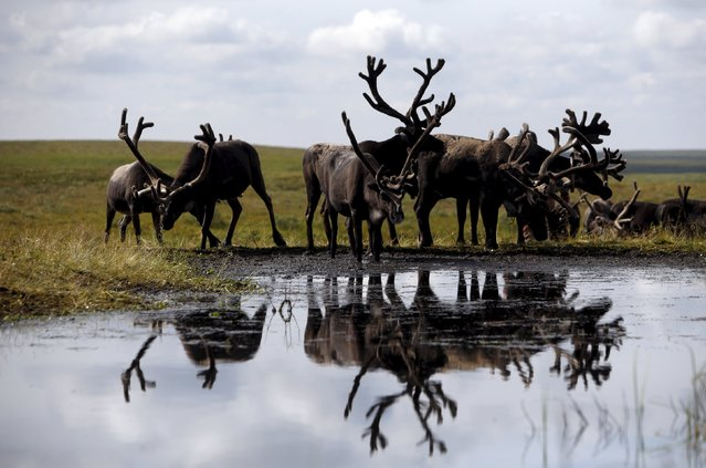 Reindeer gather at a camping ground, some 200 km (124 miles) northeast of Naryan-Mar, the administrative centre of Nenets Autonomous Area, far northern Russia, August 2, 2015. (Photo by Sergei Karpukhin/Reuters)