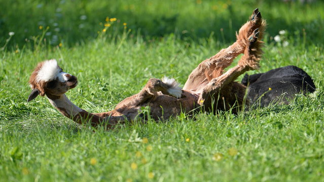 A shorn alpaca rolls in grassland at Alpaca-Land farm in Unken in the Austrian province of Salzburg, Sunday July, 6, 2014. The annual shearing makes the animals more comfortable for the summer months. (Photo by Kerstin Joensson/AP Photo)