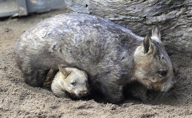 A southern hairy-nosed wombat emerges from underneath the belly of its parent at the Melbourne Zoo in Australia on May 16, 2012