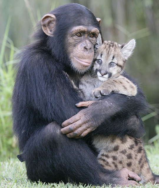 Chimp Mothers Tiger Cubs