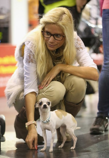 Sarah Heimann arrives with her dog Anny, who is of a breed called called a teacup chihuahua, at the pet trade fair (Heimtiermesse) at Velodrom on November 2, 2012 in Berlin, Germany. Exhibitors are showing the latest trends in collars, snacks and other accessories for cats, dogs and other household pets.  (Photo by Sean Gallup)