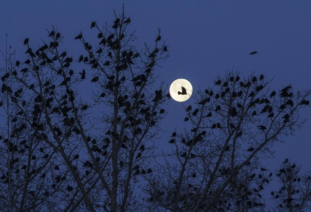 A flock of birds is seen on a tree against the moon in Kostanay, northern Kazakhstan, November 8, 2014. (Photo by Shamil Zhumatov/Reuters)