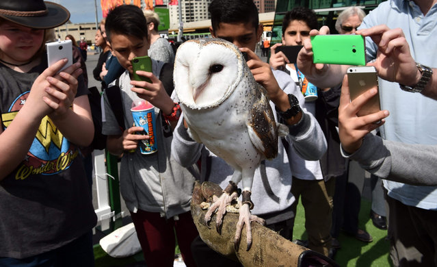 Teenagers take photographs using smartphones of Min Min, a Barn Owl in Melbourne, Australia, 13 October 2015. Min Min is part of the launch of the Aussie Bird Count which coincides with National Bird Week and aims to count one millions bird in a week in order to provide valuable data about the status of Australia's bird populations. (Photo by Julian Smith/EPA)