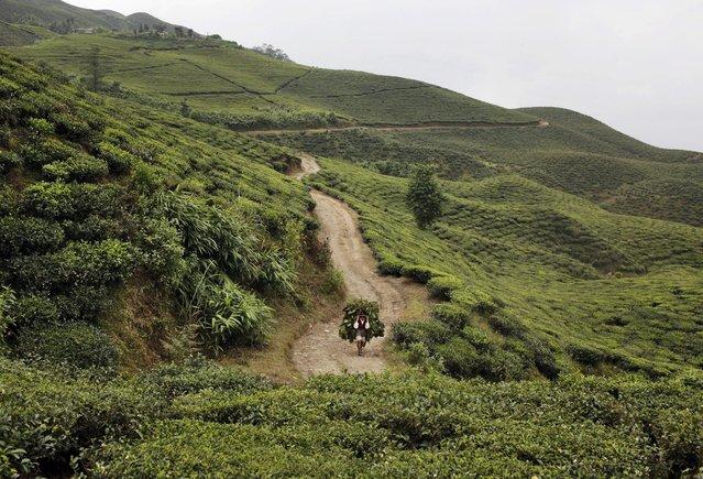 In this Sunday, November 16, 2014 photo, a Nepalese farmer carries a bindle of tea leaves as he walks through a tea garden at Kanyam in Illam district, around 500 kilometers (310 miles) from Katmandu, Nepal. (Photo by Niranjan Shrestha/AP Photo)