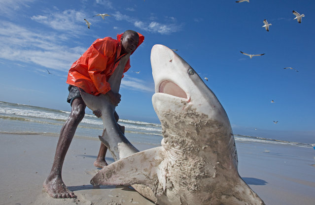 Bronze whaler shark (Carcharhinus brachyurus), caught in traditional seine net and released by fisherman, Muizenberg beach, Cape Town, South Africa on October 11, 2016. Action shots have captured fishermen trying to free a potentially deadly Bronze Whaler shark who was caught in their nets. The incredible images show the eight-foot-long 500-pound predator lunging its mouth towards the fishermen who are desperately trying to pull it back into the safety of the sea by its tail. Eventually they succeeded. (Photo by Chris and Monique Fallows/NPL)