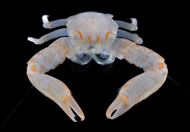 Frontal view of a porcelain crab (Lissoporcellana sp); Straits of Johore, October 2012. (Arthur Anker)