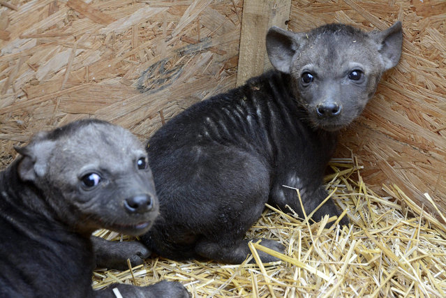Two spotted or laughing hyena (Crocuta crocuta) babies sit in a pen after their medical examination in Jaszbereny Zoo in Jaszbereny, 77 kms east of Budapest, Hungary, 09 January 2015. (Photo by Janos Meszaros/EPA)