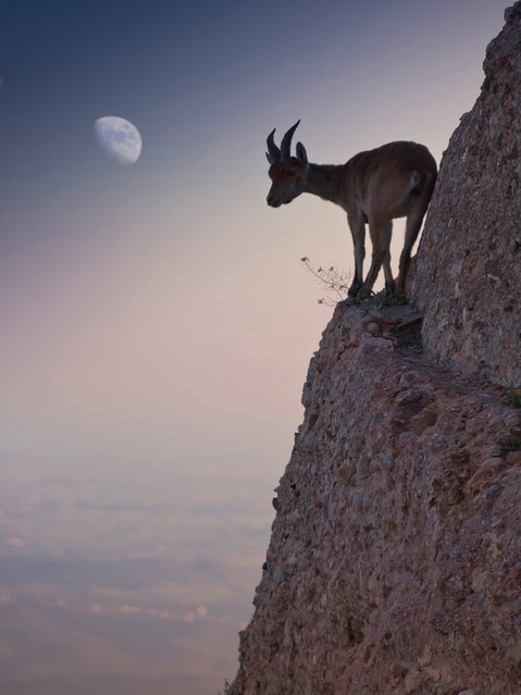 """For a bouquet of flowers"". Photographs made ​​in the last hours of the day. A goat is directed by a dangerous way to eat a small bouquet of flowers. Location: España, Barcelona, Montserrat. (Photo and caption by Renato Lopez Baldo/National Geographic Traveler Photo Contest)"
