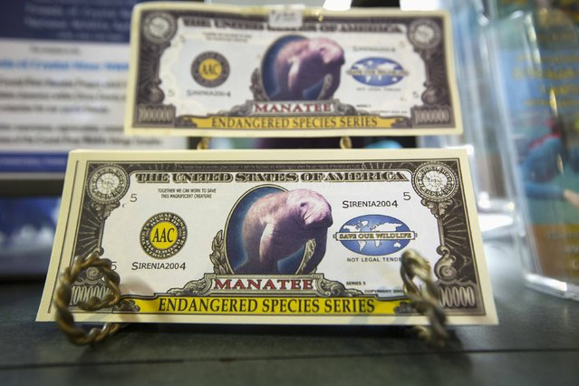 Novelty money featuring the Florida manatee are part of the numerous manatee branded items for sale at River Ventures in Crystal River, Florida January 15, 2015. (Photo by Scott Audette/Reuters)