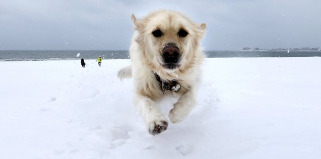 Crystal, a golden retriever, dashes through the snow as she gets away from Danielle Reid, who was walking dogs with her mom, at Revere Beach in Revere, Mass., Monday, January 26, 2015. New England is bracing for a blockbuster blizzard threatening more than 2 feet of snow, hurricane-force winds, coastal flooding and widespread power outages. (Photo by Charles Krupa/AP Photo)