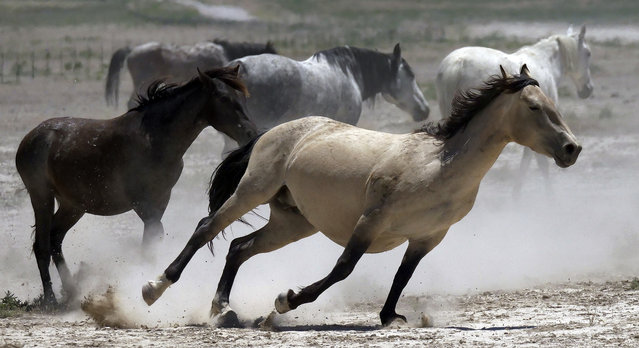 In this Friday, June 29, 2018 photo, wild horses kick up dust as they run at a watering hole outside Salt Lake City. (Photo by Rick Bowmer/AP Photo)