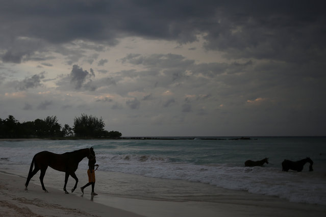 A handler prepares to bath a horse from the Garrison Savannah Racetrack in the Caribbean Sea near Bridgetown, Barbados November 29, 2016. (Photo by Adrees Latif/Reuters)