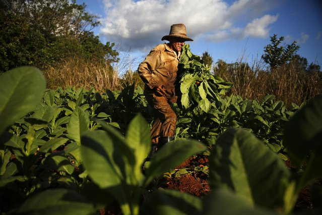 A farmer harvests tobacco leaves at a plantation in valley of Vinales, in the western Cuban province of Pinar del Rio,  January 28, 2015. (Photo by Pilar Olivares/Reuters)