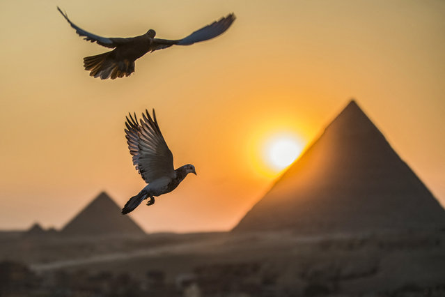 Pigeons fly in the sky above the Egyptian capital's twin city of Giza on February 21, 2021, with the Pyramids of (R to L) Khafre (Chephren) and Menkaure (Menkheres) in the background. (Photo by Khaled Desouki/AFP Photo)