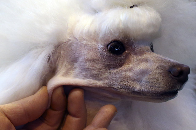 A Toy Poodle is groomed on the fourth and final day of Crufts dog show at the National Exhibition Centre on March 8, 2015 in Birmingham, England.  First held in 1891, Crufts is said to be the largest show of its kind in the world. The annual four-day event, features thousands of dogs, with competitors travelling from countries across the globe to take part and vie for the coveted title of 'Best in Show'. (Carl Court/Getty Images)