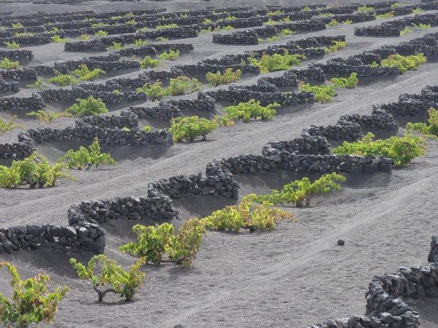 Grapes Born of Volcano In Lanzarote, Spanish