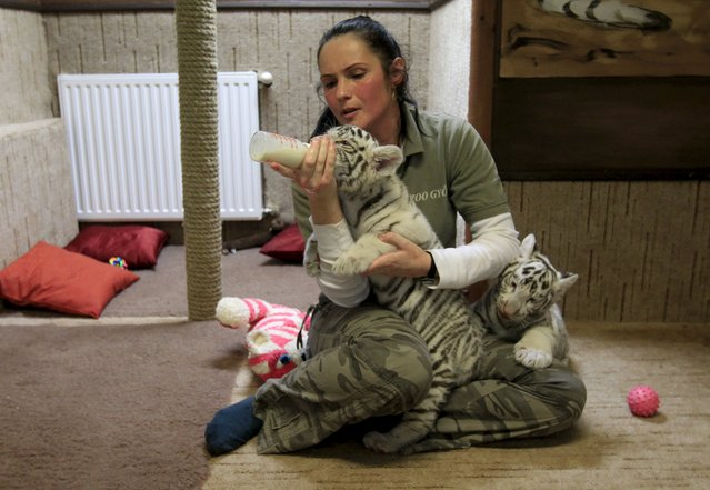 A zookeeper feeds a two-month-old white bengal tiger cub at Gyor Zoo in Gyor, west of Budapest, March 20, 2015. (Photo by Bernadett Szabo/Reuters)