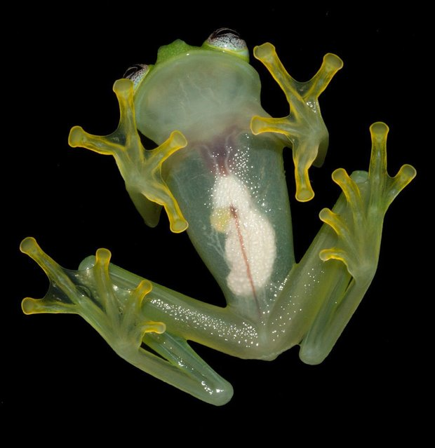 "A handout photograph provided by Brian Kubicki of Costa Rican Amphibian Research Center on 26 April 2016 shows a ""Crystal frog"", Hyalinobatrachium dianae (H. diane). This frog was discovered by US biologist Brian Kubicki and Costa Ricans Stanley Salazar and Robert Puschendorf in a rainy forest of Costa Rican caribbean after 40 years without notice of any new example of this kind. (Photo by Brian Kubicki/EPA/Costa Rican Amphibian Research Center)"