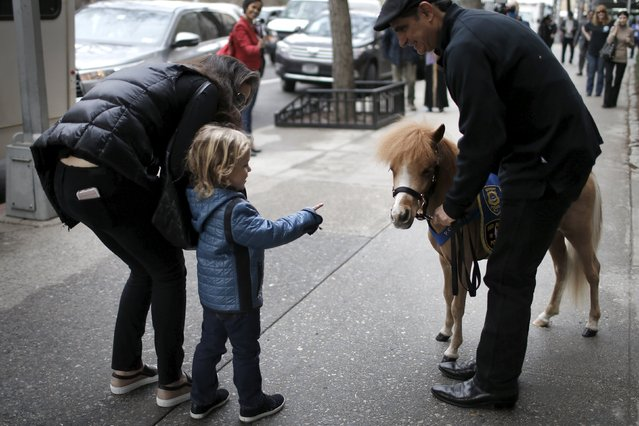 Handler Jorge Garcia-Bengochea holds Honor, a miniature therapy horse from Gentle Carousel Miniature Therapy Horses, as they are greeted by a child outside Kravis Children's Hospital at Mount Sinai in the Manhattan borough of New York City, March 16, 2016. Some of the most powerful medicine delivered to young patients at Mount Sinai Hospital in New York on Wednesday came in a package less than 32 inches tall and with a tail. (Photo by Mike Segar/Reuters)