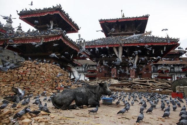 Pigeons fly as a bull sits at the damaged Basantapur Durbar Square in Kathmandu, Nepal, Saturday, May 2, 2015. (Photo by Niranjan Shrestha/AP Photo)
