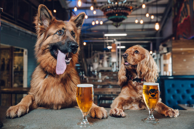 "A photo issued by brewer BrewDog on February 16, 2017, as the company announces it is to offer staff a week of paid ""paw-ternity leave"" if they get a new dog in Aberdeen, UK. (Photo by BrewDog/PA Wire)"