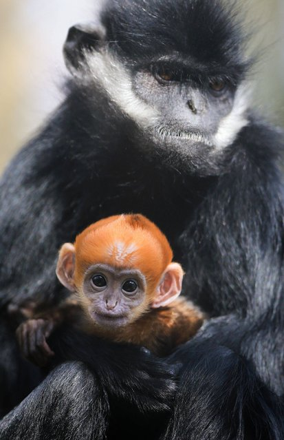 A three week old François' Langur is held by his auntie Grubb as he makes his public debut at Howletts Wild Animal Park near Canterbury, Kent, on March 17, 2014. The newborn is the first ever of its species to be born at the park and is one of the world's rarest primates. (Photo by Gareth Fuller/PA Wire)