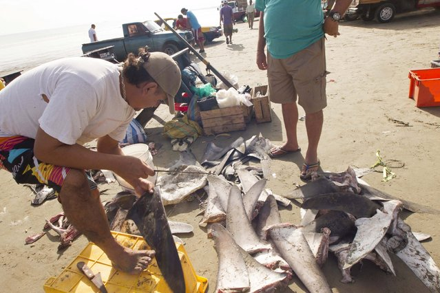 A fisherman groups and prepares shark fins at the beach of Manta, Ecuador May 19, 2015. (Photo by Guillermo Granja/Reuters)